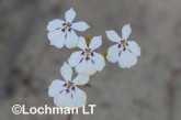 Isotoma hypocrateriformis  Woodbridge Poison  LLJ-962 © Jiri Lochman LT