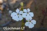 Isotoma hypocrateriformis  Woodbridge Poison  LLJ-963 © Jiri Lochman LT