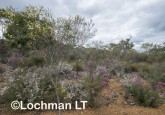 Kwongan Biodiversity AGD-357 ©Marie Lochman - Lochman LT