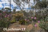 Kwongan Biodiversity LLR-434 ©Jiri Lochman - Lochman LT