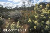 Kwongan Biodiversity LLR-438 ©Jiri Lochman - Lochman LT