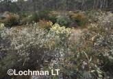 Kwongan Biodiversity LLR-439 ©Jiri Lochman - Lochman LT