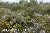 Kwongan Biodiversity - Yanchep AGD-376 ©Marie Lochman - Lochman LT