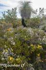 Kwongan Biodiversity - Yanchep AGD-377 ©Marie Lochman - Lochman LT