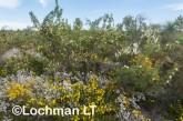 Kwongan Biodiversity - Yanchep AGD-378 ©Marie Lochman - Lochman LT