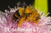 Amegilla (Asaropoda) bombiformis - Teddy Bear Bee LLF-909 ©Jiri Lochman -Lochman LT