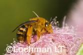 Amegilla (Asaropoda) bombiformis - Teddy Bear Bee LLF-910 ©Jiri Lochman -Lochman LT