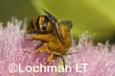 Amegilla (Asaropoda) bombiformis - Teddy Bear Bee LLF-912 ©Jiri Lochman -Lochman LT
