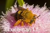Amegilla (Asaropoda) bombiformis - Teddy Bear Bee LLF-914 ©Jiri Lochman -Lochman LT