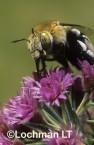 Amegilla (Notomegilla) chlorocyanea - Blue-Banded Bee PDY-054 ©Jiri  Lochman -Lochman LT