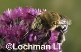 Amegilla (Notomegilla) chlorocyanea - Blue-Banded Bee XOY-814 ©Jiri  Lochman -Lochman LT