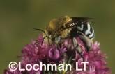 Amegilla (Notomegilla) chlorocyanea - Blue-Banded Bee XOY-825 ©Jiri  Lochman -Lochman LT