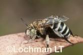Amegilla (Notomegilla) chlorocyanea - Blue-banded Bee LLO-037  ©Jiri Lochman -Lochman LT