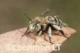 Amegilla (Notomegilla) chlorocyanea - Blue-banded Bee LLO-039 ©Jiri Lochman -Lochman LT