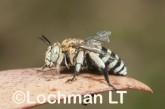 Amegilla (Notomegilla) chlorocyanea - Blue-banded Bee LLO-040 ©Jiri Lochman -Lochman LT