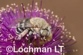 Amegilla (Notomegilla) chlorocyanea - Blue-banded Bee LLO-043 ©Jiri Lochman -Lochman LT