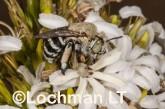Amegilla (Notomegilla) chlorocyanea - Blue-banded Bee LLO-046 ©Jiri Lochman -Lochman LT