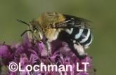 Amegilla (Notomegilla) chlorocyanea - Blue-banded Bee PDY-053 ©Jiri Lochman -Lochman LT