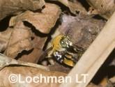 Amegilla (Zonamegilla) cingulata - Blue-banded Bee AAD-615 ©Matie Lochman -Lochman LT