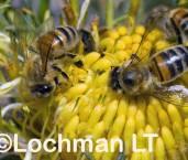 Apis mellifera - Common Honey Bee LLF-919 ©Jiri Lochman - Lochman LT