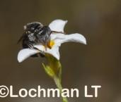 Austroplebeia australis - Sugar Bag Bee AED-499 ©Matie Lochman - Lochman LT