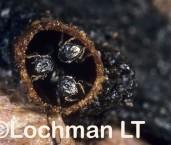 Austroplebeia essingtoni - Sugar Bag Bee KKY-349 ©Jiri  Lochman - Lochman LT