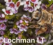 Ctenocolletes nicholsoni - Native Bee LLR-553 ©Jiri Lochman - Lochman LT