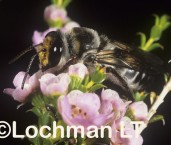 Ctenocolletes nigricans - Short-toungued Bee LMY-699 ©Jiri  Lochman -Lochman LT