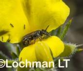 Euhesma sp. (Yanchep NP) - Solitary Burrowing Bee LLR-563 ©Jiri Lochman -Lochman LT