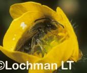 Lasioglossum (Chilalictus) lanarium - Social Burrowing Bee - male XGY-972 ©Jiri  Lochman - Lochman LT