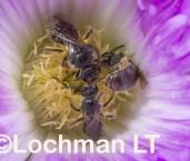 Lasioglossum (Chilalictus) sp. (Twin Karri Beach) LLR-564 ©Jiri Lochman - Lochman LT