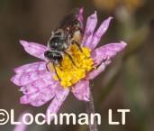 Leioproctus sp. (Bindoo Hill NR) - Solitary Burrowing Bee LLO-044 ©Jiri Lochman - Lochman LT