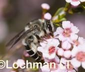 Leioproctus sp. (Lake Logue NR) - Solitary Burrowing Bee AAD-500 ©Marie Lochman - Lochman LT