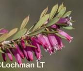 Leucopogon oxycedrus LLR-149 ©Jiri Lochman - Lochman LT