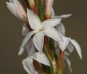 Lysinema conspicuum LLN-371 ©Jiri Lochman- Lochman LT