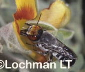 Megachile aurifrons - Red-faced Mastic Bee PCY-500 ©Jiri  Lochman - Lochman LT