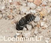Megachile sp. (Peak Charles NP) -Burrowing Mastic Bee  LLO-034b ©Jiri Lochman -Lochman LT