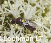 Meroglossa rubricata - Hairless Bee LLR-551 ©Jiri Lochman - Lochman LT