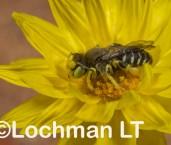 Neopasiphae mirabilis - Solitary Burrowing Bee male LLR-545 ©Jiri Lochman -Lochman LT