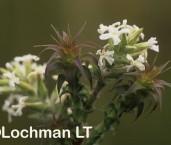 Sphenotoma dracophylloides AKY-089 ©Marie Lochman - Lochman LT