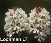 Sphenotoma dracophyloides-Paper Heath AKY-069 ©Marie Lochman - Lochman LT