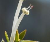 Styphelia tenuiflora AED-752 ©Marie Lochman- Lochman LT