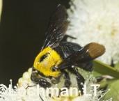 Xylocopa (Koptortosoma) lieftincki - Carpenter Bee LLF-562 ©Jiri Lochman -Lochman LT
