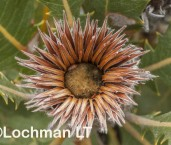 Banksia-Dryandra heliantha Oak-leaved Dryandra LLP-538 ©Jiri Lochman LT