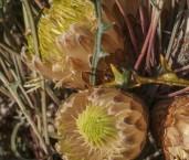 Banksia-Dryandra rufa subsp.rufa LLP-542 ©Jiri Lochman LT