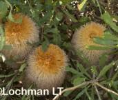Banksia baueri - Woolly Banksia LLP-665 ©Jiri Lochman - Lochman LT