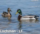 Anas platyrhynchos - Mallard a pair LLS-107 ©Jiri Lochman - Lochman LT