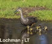 Anas superciliosa - Black Duck LLR-969 ©Jiri Lochman - Lochman LT