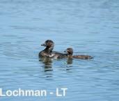 Biziura lobata - Musk Duck female & chick LLS-094 ©Jiri Lochman - Lochman LT
