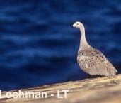 Cape Barren Goose LDY-052 ©Jiri Lochman - Lochman LT